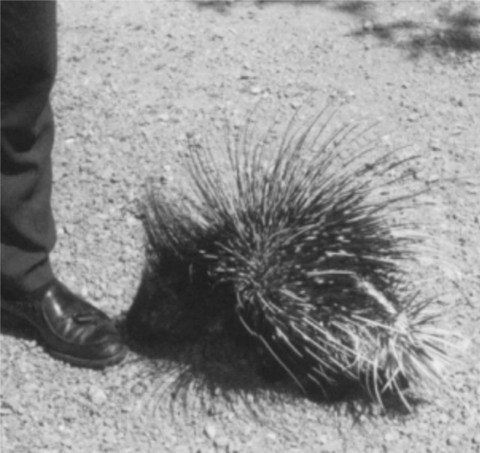 You heard it from someone that owned a pet porcupine; they CAN NOT throw their quills. But they can be real scary when they want to be.